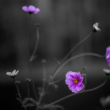 A black and white photo except for color left within the flowers