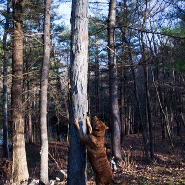 A photo of Chesapeake Bay retriever treeing a cat.