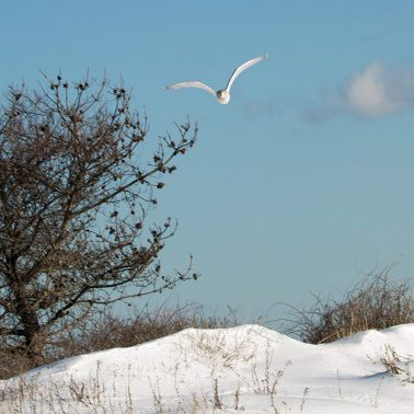 A seagull in flight on a snow covered beach flying straight toward the camera.