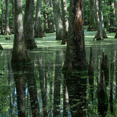 the Bald Cypress Swamp near Tupelo Mississippi