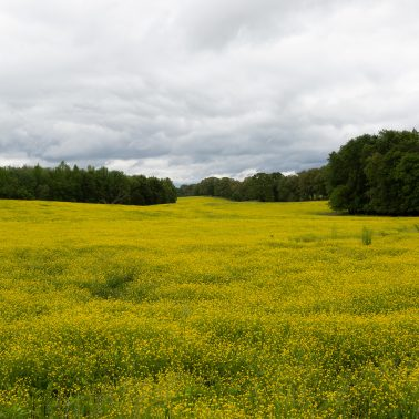 A large field of yellow wild flowers